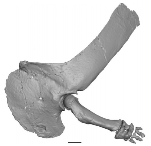 majungasaurus-shoulder-arm